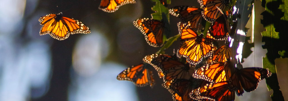 Monarch-Butterfly-Grove-on-GuestWritersHub